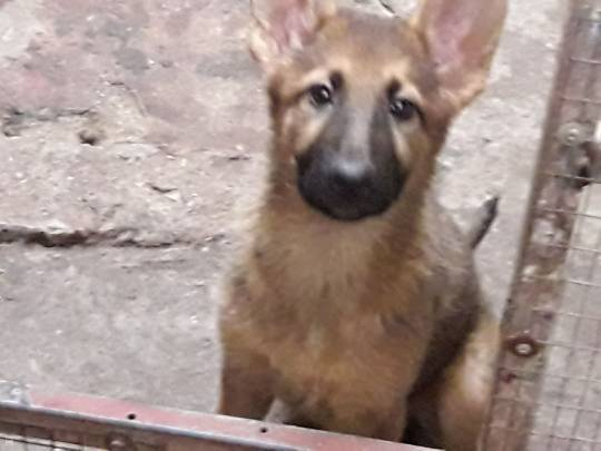 CHIOT - BERGER ALLEMAND - PUR SANG - 3 MOIS