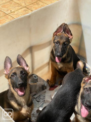 CHIOT - BERGER ALLEMAND PUR SANG - 3 MOIS
