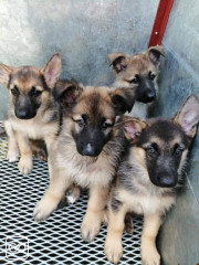 4 CHIOTS - BERGER ALLEMAND - PUR-SANG