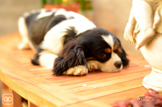 CHIOT - CAVALIER KING CHARLES - 5 MOIS - MALE